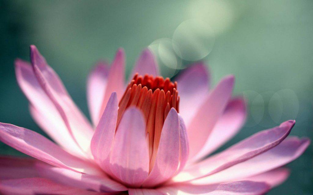 عکس گل برای پروفایل,گل رمانتیک